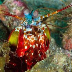 Beautiful Peacock mantis Shrimp.