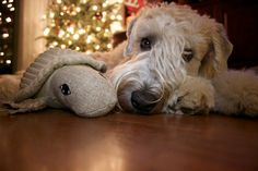 That look; those eyes.Max- My Wheaten Terrier