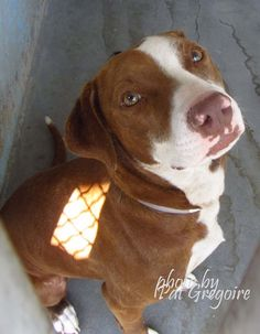 KILLED 4/29/15 --- A4814658 My name is Mocha. I am a very friendly 2 yr old female brown/white pit bull mix. My family left me here on April 3. available now  NOTE: Bully breeds are not kept as long as others so these dogs are always urgent!!  Baldwin Park shelter https://www.facebook.com/photo.php?fbid=952442978100873&set=a.705235432821630&type=3&theater