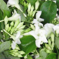 Loroco Flowers used in El Salvadorian food.