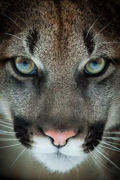 Kitty (by Justin Lo). Did you know that a Puma, a Mountain Lion, a Cougar & a Panther (not to be confused with Black Panthers of Asia, Africa & Latin America) are all the same animal? The Latin name for the smallest of the big cats is Puma concolor. Big Cats, Cool Cats, Cats And Kittens, Cats Bus, Beautiful Cats, Animals Beautiful, Gorgeous Eyes, Beautiful Images, Beautiful Things