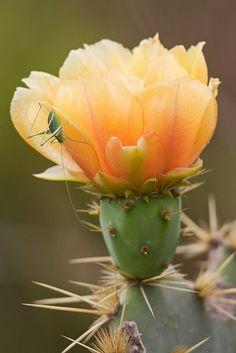 Unusual Flowers, Unusual Plants, Rock Plants, Pear Blossom, Valley Flowers, Prickly Pear Cactus, Beautiful Flowers Wallpapers, Desert Plants, Carnivorous Plants