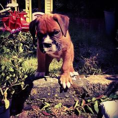 Josh and I are trying to get a boxer, such awesome dogs!