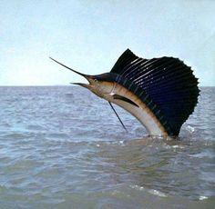 Indo Pacific Sailfish. LO