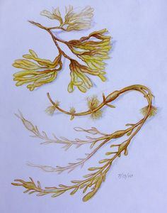 Waldorf ~ 5th grade ~ Botany ~ Seaweed ~ main lesson book