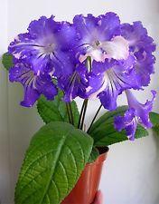 Streptocarpus - DS-Fevral (DS-Февраль)