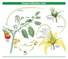 Tomato+Pollination.jpg (400×345)