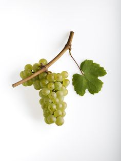 #Riesling grapes from #Alsace, France.
