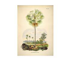 Affiche botanique Palmier Livistona Inermis - Décorez vos murs avec cette collection d'affiches botaniques au style rétro ! Palmiers, fleurs de magnolia, ananas ou encore ficus… La plante est à l'honneur et se retrouve magnifiée par de sublimes illustrations colorées reproduites à partir d'originales datant des années 1800. Soulignés de leurs noms scientifiques, les dessins dévoilent une esthétique authentique et intemporelle qui égaiera les murs de votre intérieur avec efficacité. De quoi…