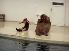 This walrus does sit-ups & push-ups better than kids in my gym class...