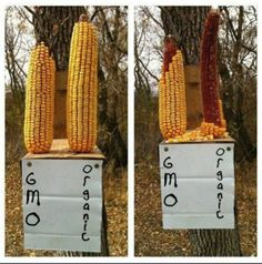 Even wild animals know they don't want GMO's in their food ~ guess they are a LOT smarter than we ever thought!
