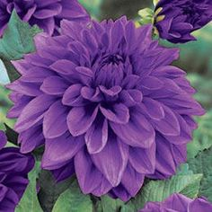 Our dahlia flowers are displayed below. We offer several dahlia varieties. All Flowers, My Flower, Colorful Flowers, Purple Flowers, Beautiful Flowers, Dahlia Flowers, Purple Dahlia, Growing Dahlias, Lavender Color