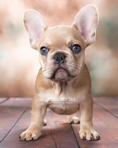 cutie Beautiful frenchie ❤ by welovefrenchbulldog http://ift.tt/21PTACz