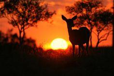 Sunset doe #Pinterest Pin-a-way.....doe's sillouette...
