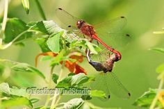 Mating Dragonflies Photo  Ruby Meadowhawk  by FeatherWindStudio