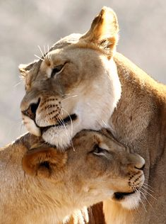 Lions nuzzle up to one another at the US National Zoo on an unseasonably warm day in Washington, DC...