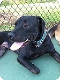 07/12/15-Newnan, GA - Rottweiler/Pit Bull Terrier Mix. Meet Serena, a dog for adoption. http://www.adoptapet.com/pet/11485379-newnan-georgia-rottweiler-mix