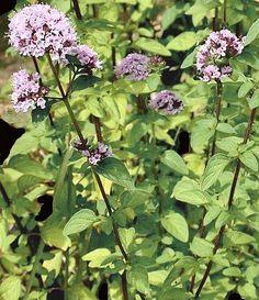 Linguaggio dei fiori e delle piante, Maggiorana, Origanum majorana, pianta, linguaggio fiori, significato, linguaggi, fiori, fiore, colori, simbologia