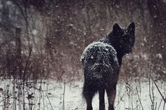 White Wolf : Women And Wolves Cuddle In Beautiful Photographs by Rachel Lauren Blue Bay Shepherd, Canis Lupus, Labrador, Shadow Wolf, Animal Bones, Wild Dogs, Animal Photography, Nature Photography, Beautiful Creatures