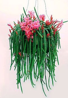 Rat tail cactus; terrible name, terrific plant!