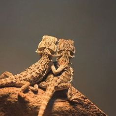 bearded dragon basking behaviour like all lizards bearded dragons are exothermic and meaning