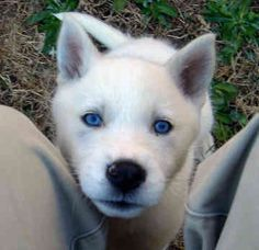 Wolf Hybrid Pup! Heck Yes!! I will have one!