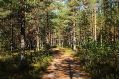 Леса Санкт-Петербург Выборгский район Деревья Тропа Природа