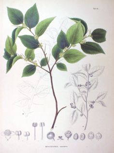 Dibujo de Xylosma congestum, Flora japonica 1870; Philipp Franz von Siebold & Joseph Gerhard Zuccarini