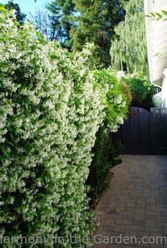 pink jasmine planted with star jasmine to get 3-4 months of fragrance