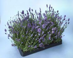 2012 Year of the Herbs: Lavender Ellagence Deep Purple