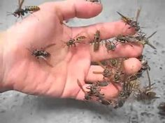 Studies have shown that if you desensitize your captive wasps to your fingers and hands from an early stage, they will become used to you and not react in an...