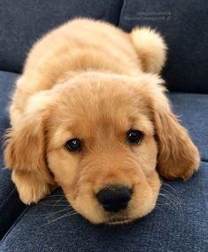 Baby Golden Retriever Cute Puppies Dogs Puppies Golden