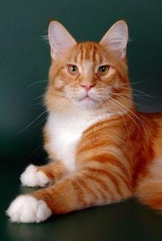 Мейн-кун - самая большая кошка в мире!