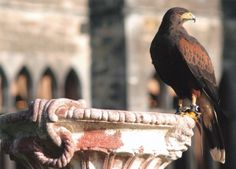 If you find yourself in County Mayo, Ireland, looking for a unique experience, you might try your hand (in a glove) at flying hawks.  Ashford Castle, a medieval castle near the Mayo-Galway border, is home to the oldest established falconry school in Ireland.