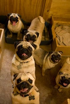 HEAVEN - Can you tell that these pugs are happy to see you?