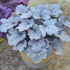 Heuchera Dolce® 'Silver Gumdrop' Plant