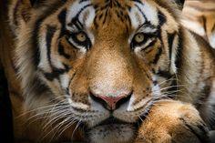 Tigre-de-Bengala ( Panthera tigris) - Bengal tiger | Flickr