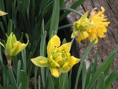 "Van Sion Double Daffodil /""/""400 year old Classic/""/"" 10 bulbs USA"