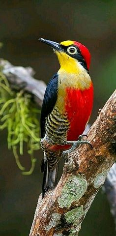 Colorful birds - Yellow-fronted Woodpecker - photo by Arlei Bertani
