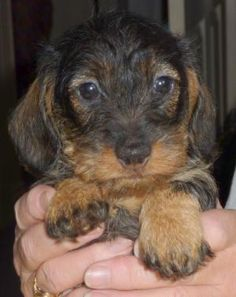 wire haired dachshund puppies - Friday is maybe mixed with this?