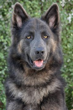 THE DAVINCI FOUNDATION FOR ANIMALS RESCUE ACROSS THE NATION:Rescue Info Westside German Shepherd Rescue of Los Angeles