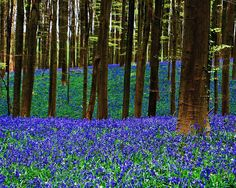 springtime in the black forest | the photographer said bluebell time in the belgium forest shows the ...