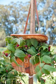 fishing basket filled with berry plants Basket Planters, Hanging Planters, Hanging Basket, Container Plants, Container Gardening, Patio, Backyard, Growing Raspberries, Strawberry Planters