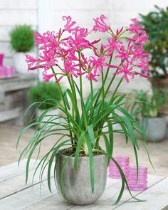 Vertical Gardens Alan Titchmarsh on growing Nerine bowdenii Garden Bulbs, Garden Pots, Potted Garden, Bulb Flowers, Flower Pots, Flowers Garden, Summer Flowers, Agapanthus In Pots, Container Gardening