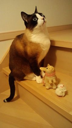 By rat and rabbit and snowshoe cat, great poses Snowshoe Siamese, American Shorthair, Good Buddy, Grumpy Cat, Cat Breeds, Cool Cats, Shelter, Dog Cat, Adoption