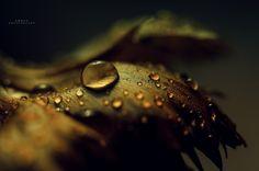 Golden Drops by Ammar Al-Ameen on 500px