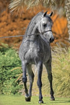 All sizes | Arabian Horses | Flickr - Photo Sharing!