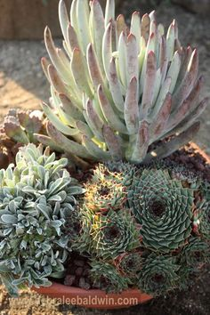 sempervivums, a coty