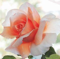 orange white Rose Flower Seeds for Wedding Plant Outdoor Bulbs for Bride InStock. Most Beautiful Flowers, Pretty Flowers, Orchid Flowers, Beautiful Beautiful, Black Rose Flower, Wedding Plants, Rose Pictures, Hybrid Tea Roses, Flower Seeds