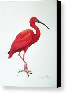 Scarlet Ibis Canvas Print by Christopher Cox. All canvas prints are professionally printed, assembled, and shipped within 3 - 4 business days and delivered ready-to-hang on your wall. Choose from multiple print sizes, border colors, and canvas materials. Question Mark Butterfly, Lily Beetle, Motifs Animal, Fine Art Prints, Framed Prints, Canvas Art, Canvas Prints, Animal Sketches, Exotic Birds